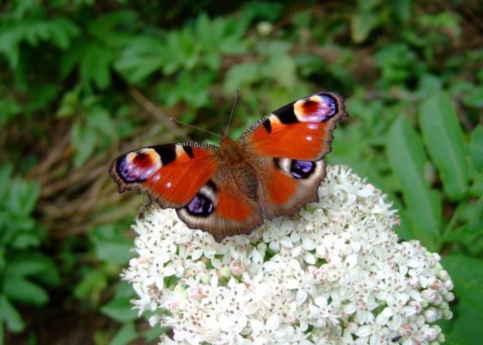 papillon Paon du jour sur fleur de Hièble
