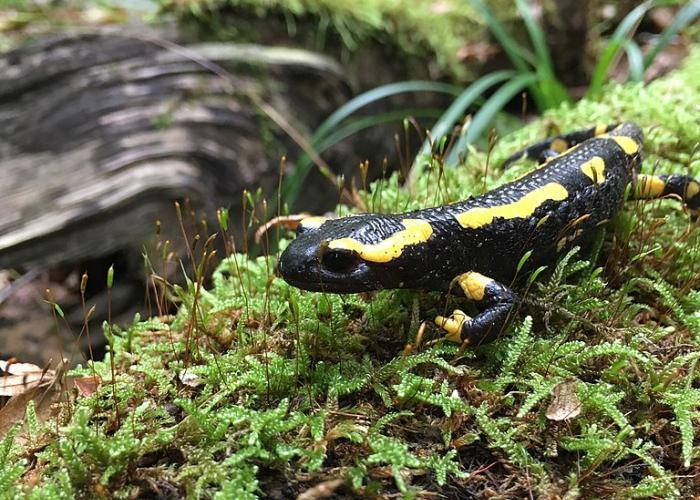 Salamandre tachetée en forêt
