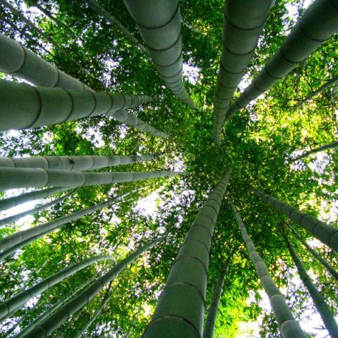 Les bambous de Planbuisson